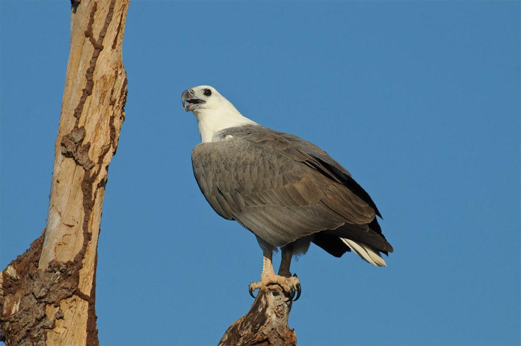 White-bellied sea eagle in Kakadu