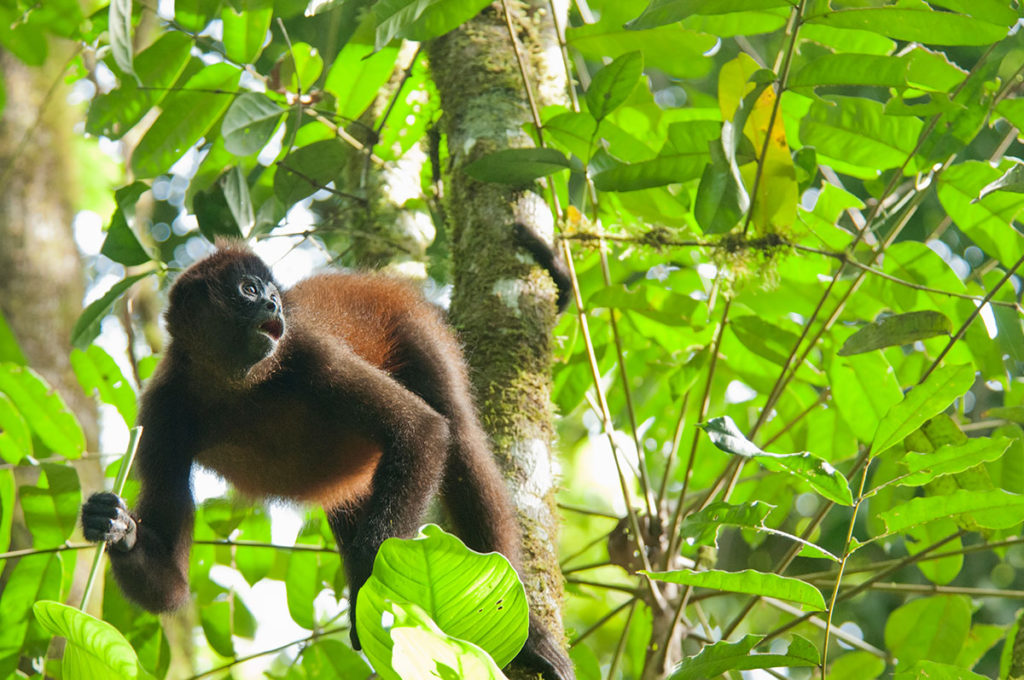 Corcovado wildilfe - Black-handed spider monkey