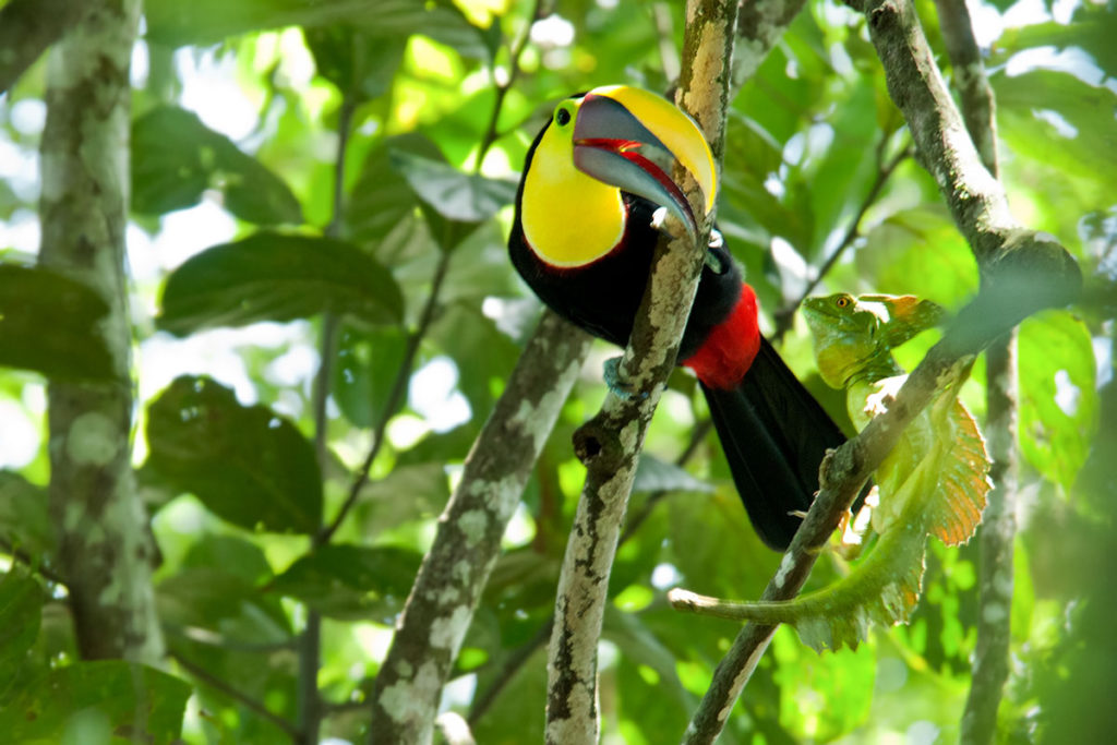 Black-mandibled toucan and green iguana