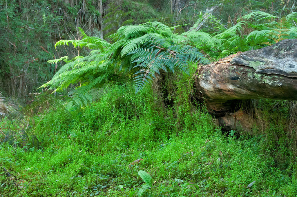 Blanket of ferns along Nepean River walking trail