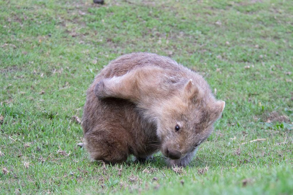 Bendeela wombat