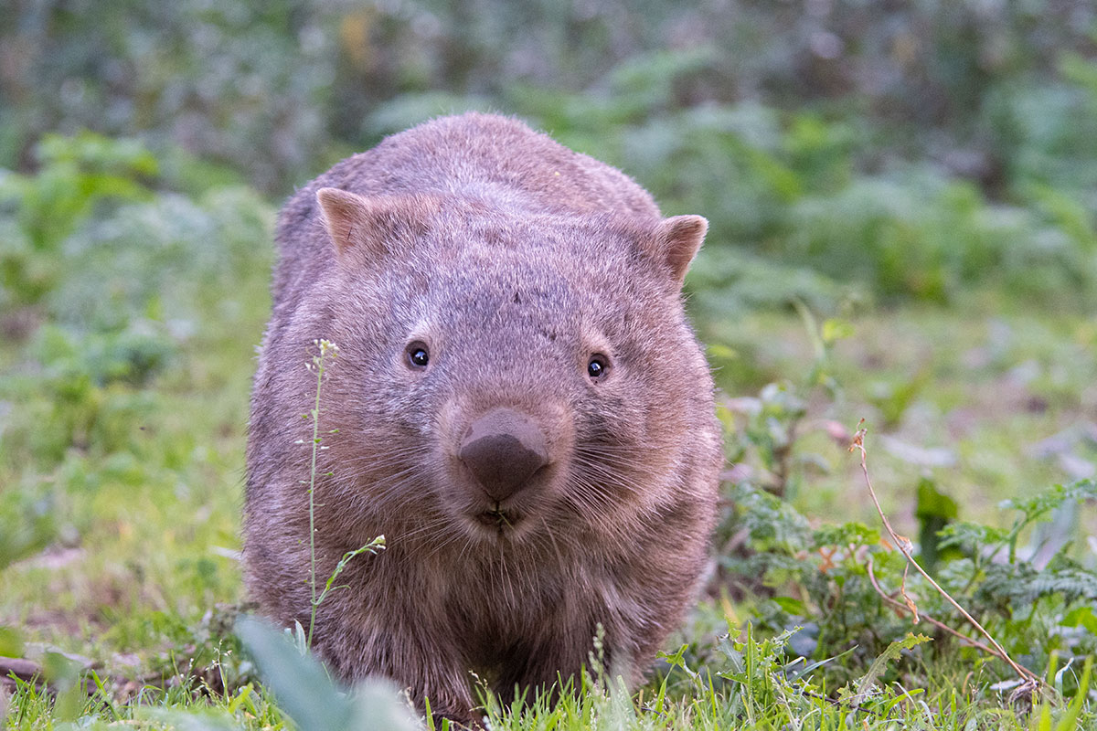 Kangaroo Valley wombat on Sydney day tour