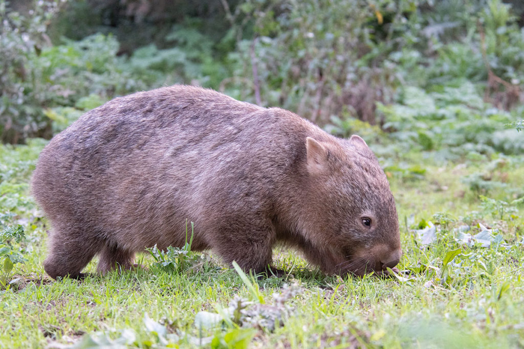 Walking with wombats Sydney