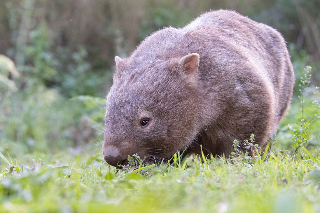 Kangaroo Valley wombats on Sydney Day tour