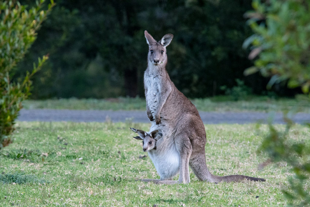 Kangaroo on a day tour from sydney