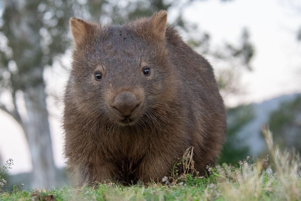Kangaroo Valley wombat