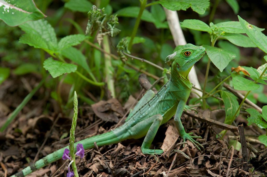 Green iguana at Tirimbina