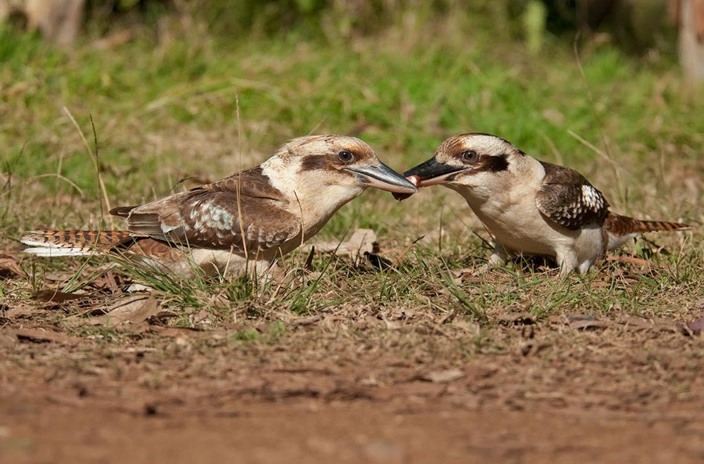 Kookaburras fighting at Euroka campground