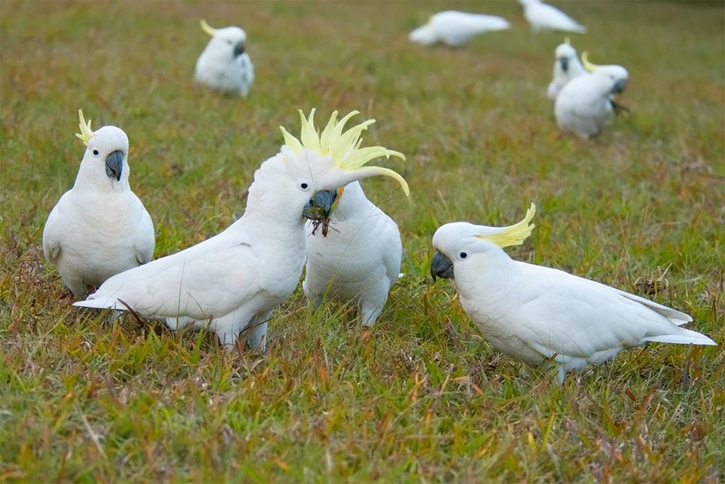 Sulphur-crested cockatoos at Euroka