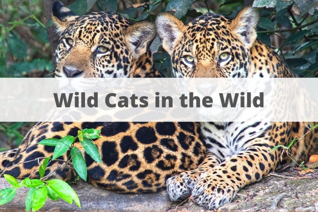 Wild cats in the wild