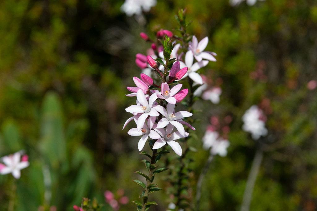 Wildflowers along Uloola track