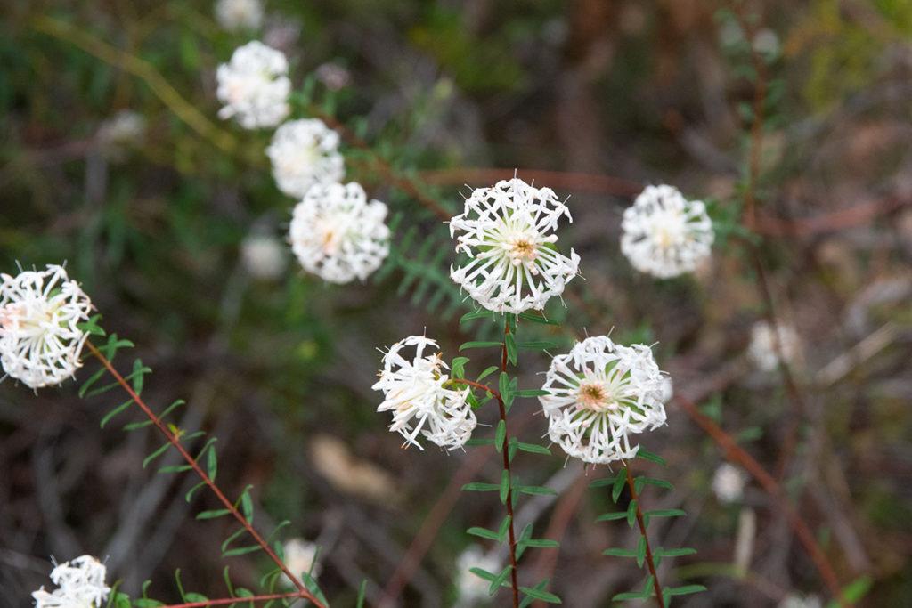 Wildflowers along Uloola trail