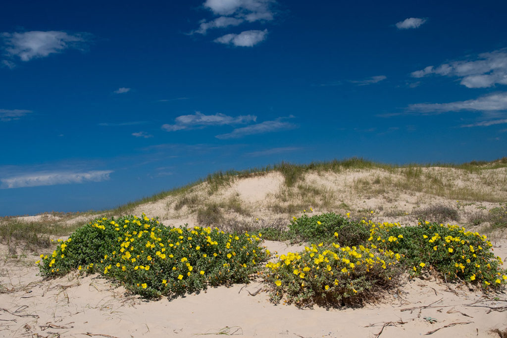 Flowers growing on the sand dunes