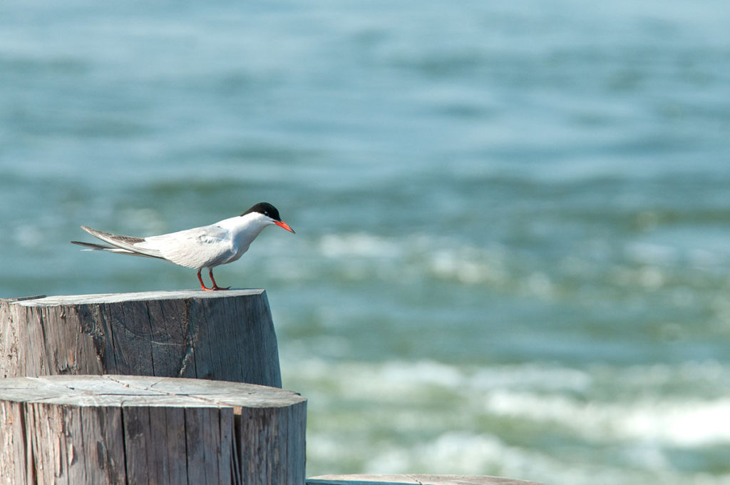 Common Tern in Battery Park