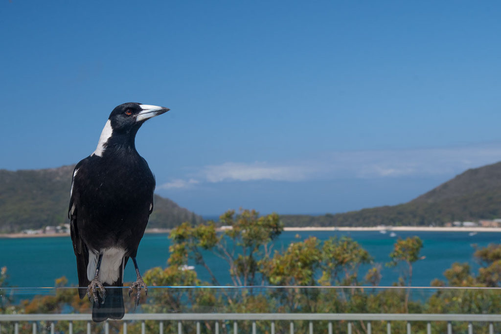 Magpie at Inner Light Tea Rooms, Shoal Bay