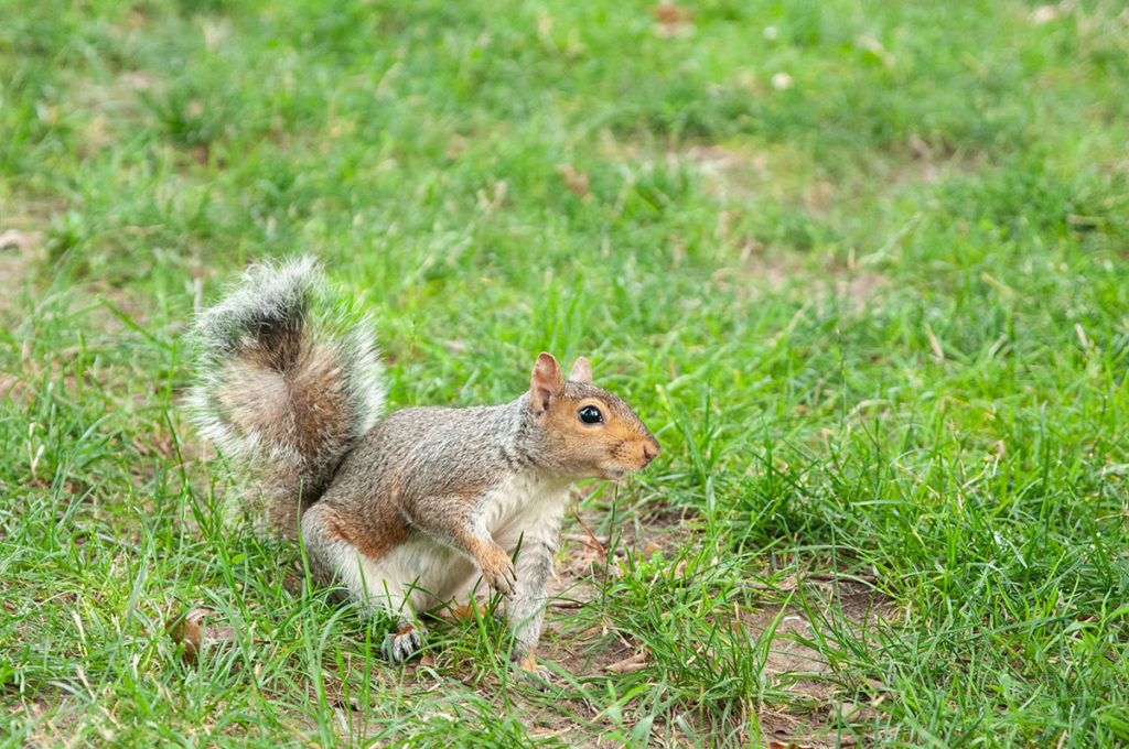 Eastern grey squirrel in Central Park