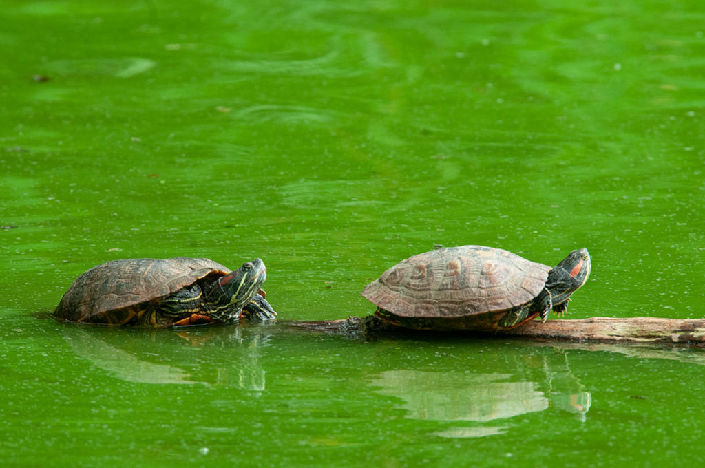 Red-eared sliders in Central Park