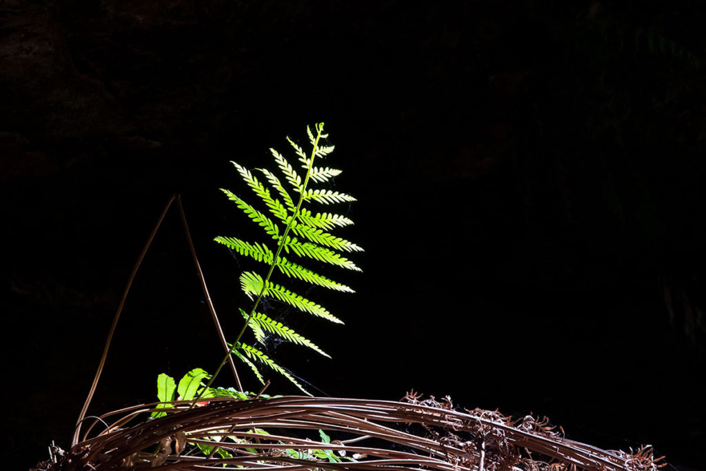 Fern in the Grand Canyon, Blue Mountains