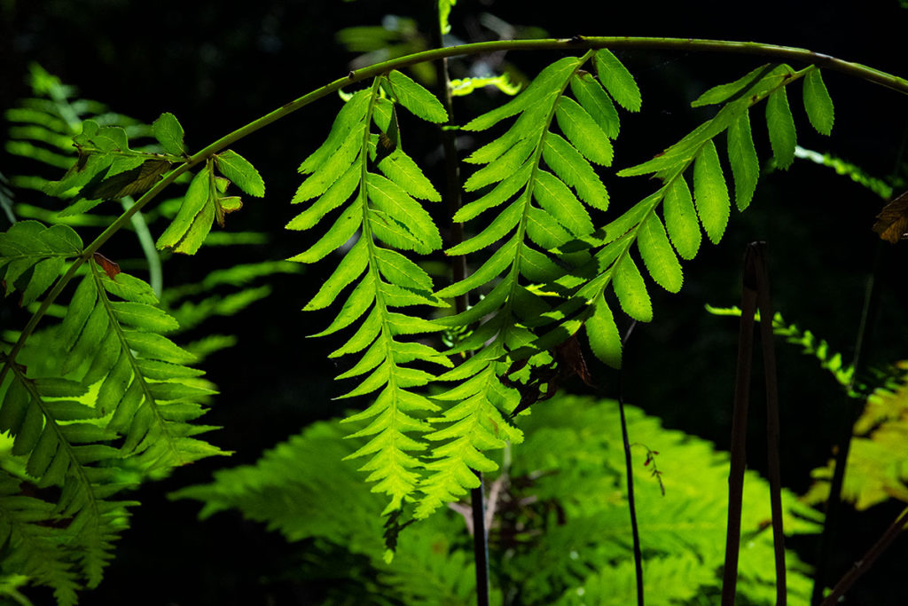 Backlight ferns in Blue Mountains