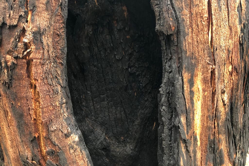 Eucalypt tree burned out from the inside