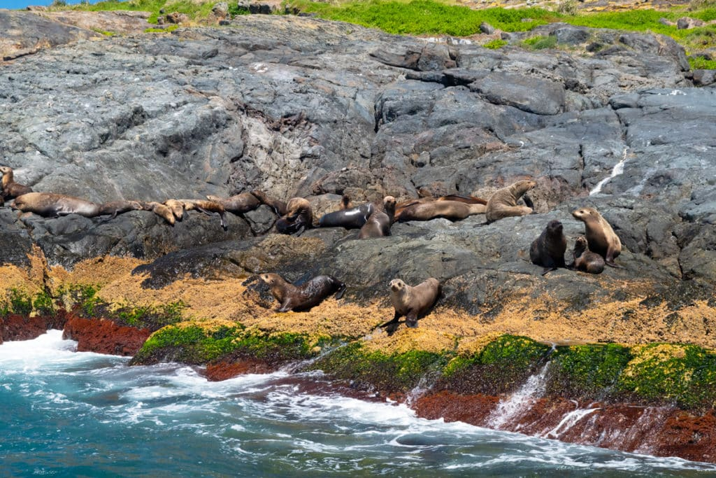 Seal colony at Montague Island