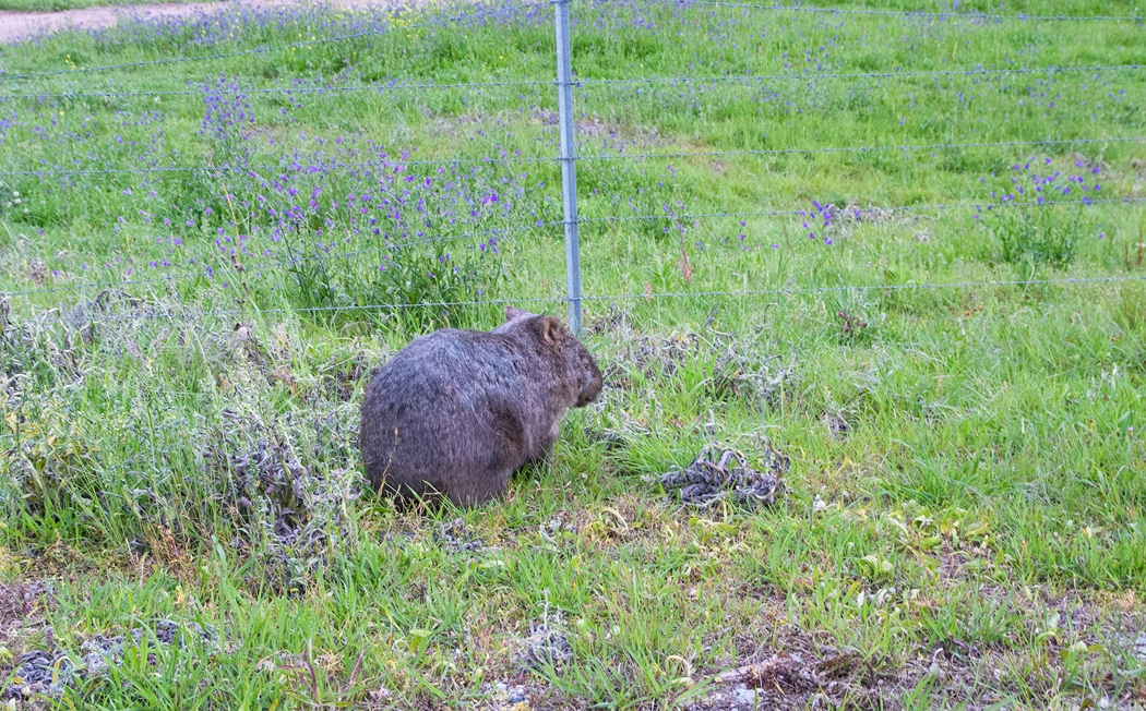 Common wombat in Wolgan Valley