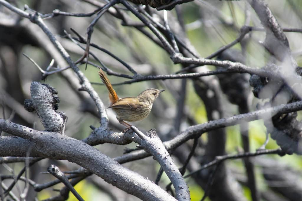 Chestnut-rumped Heathwren in Royal National Park