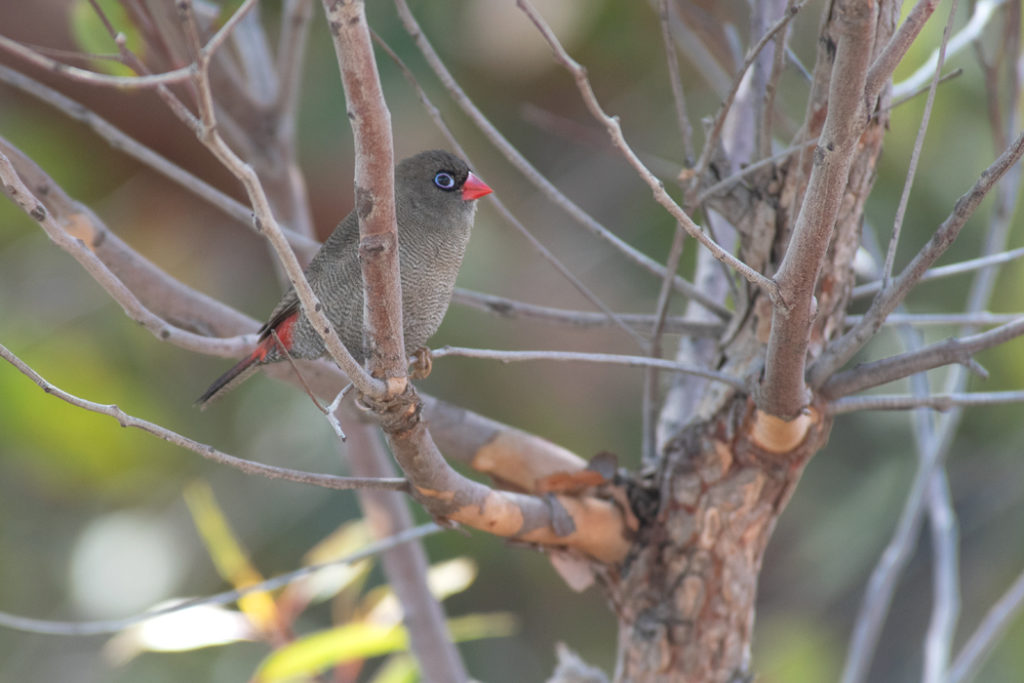 Firetail in Royal National Park