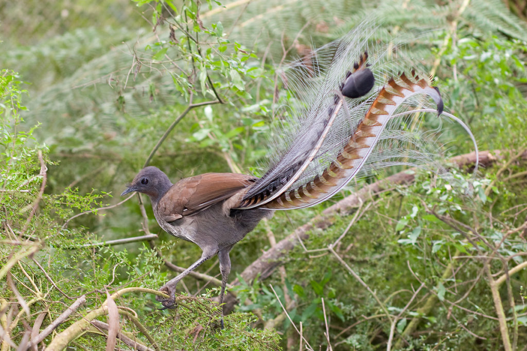 Things to do in Kangaroo Valley - see a lyrebird at Minnamurra Rainforest Centre