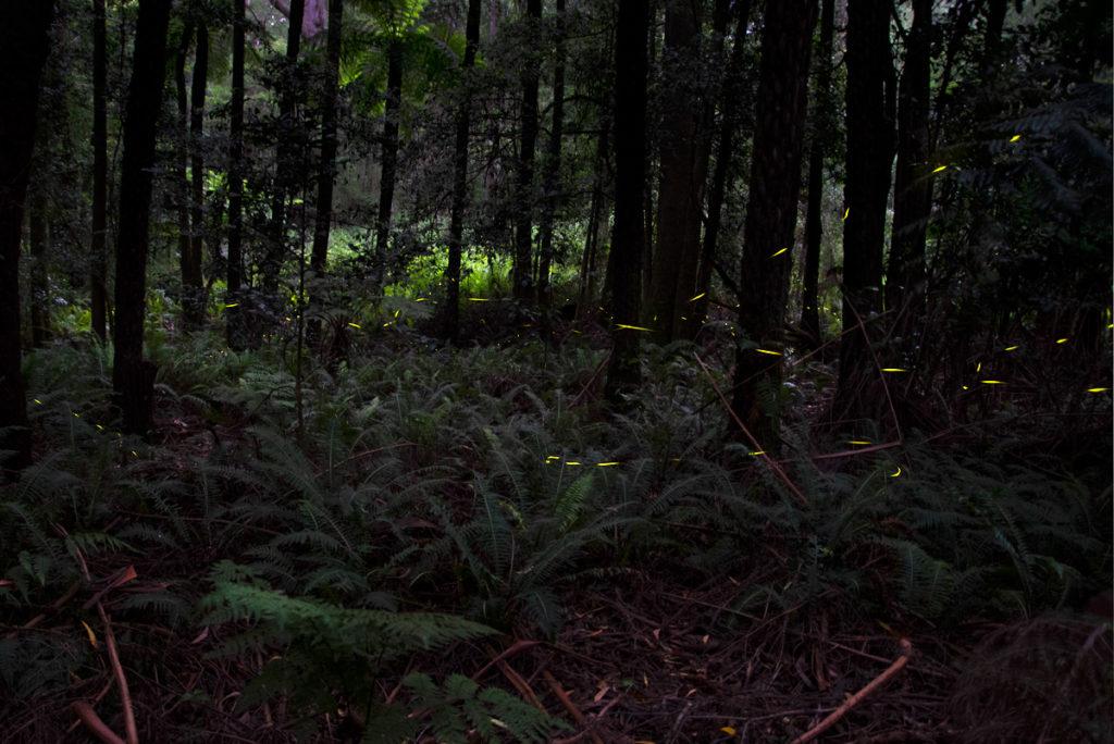 Fireflies Sydney