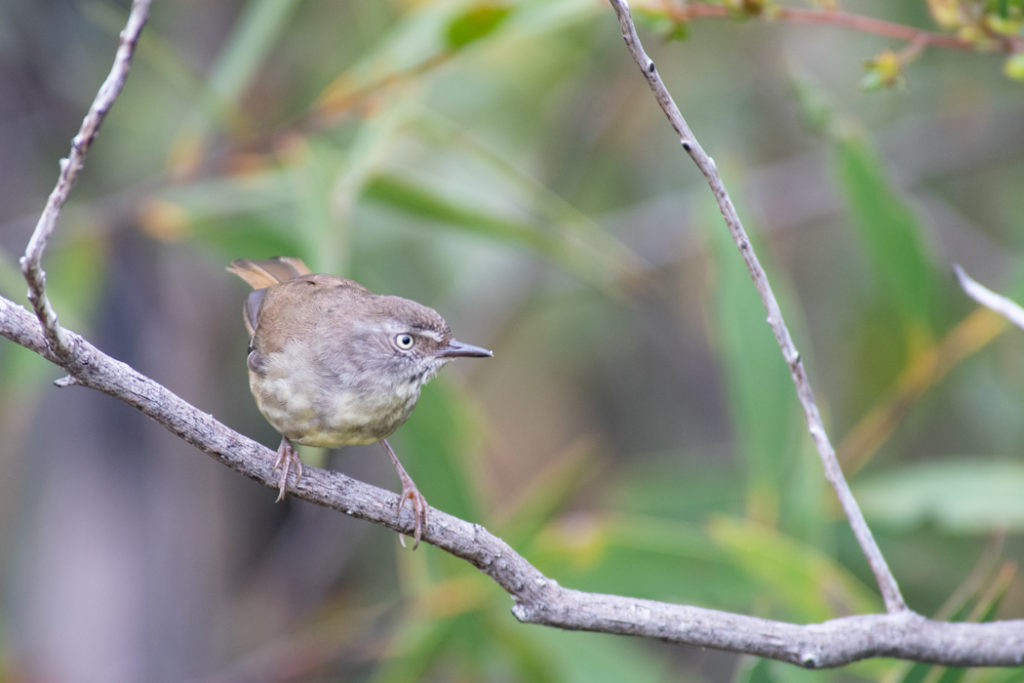 White-browed scrubwren in Royal National Park