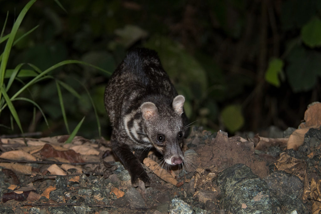 Malay civet in Deramakot