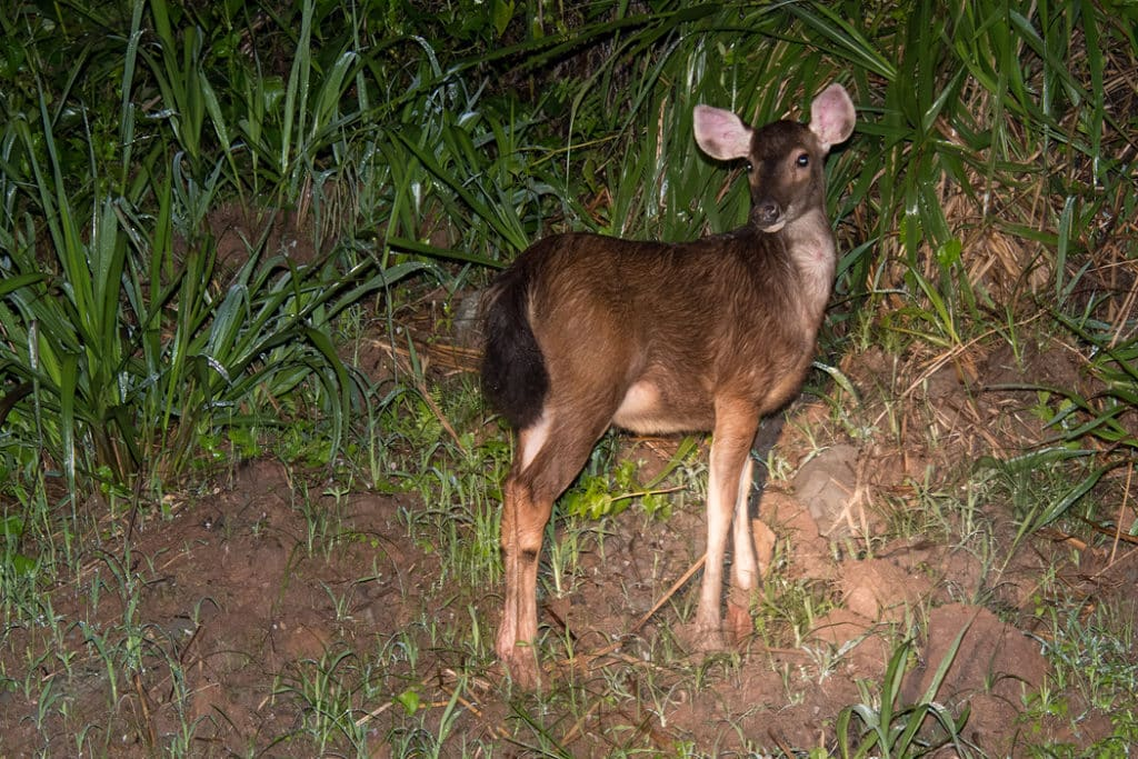 Young Sambar deer