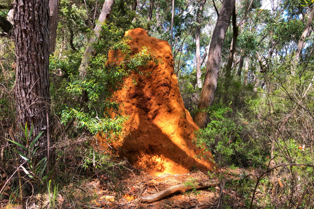 Termite mound on Walls Cave walk