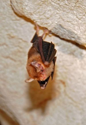 Male Kitti\'s hog-nosed bat