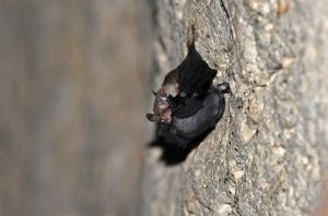 Kitti\'s hog-nosed bat female with young