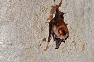 Female Trident roundleaf bat with a grown young