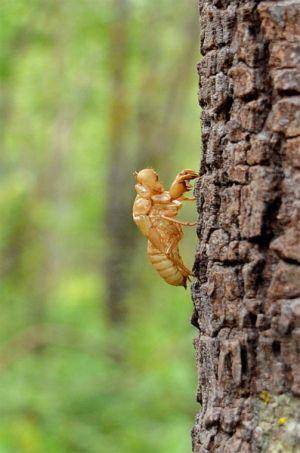 cicadas-empty-shell