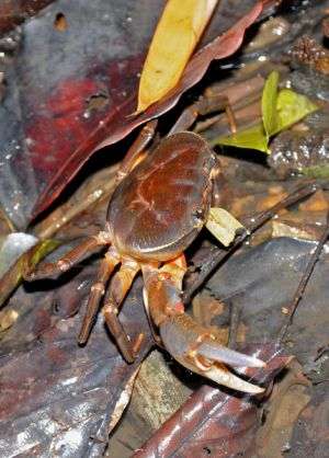 rachani-crabs