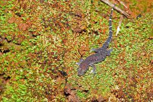 siamese-leaf-toed-gecko-4