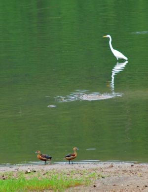wandering-tree-ducks-and-great-egret