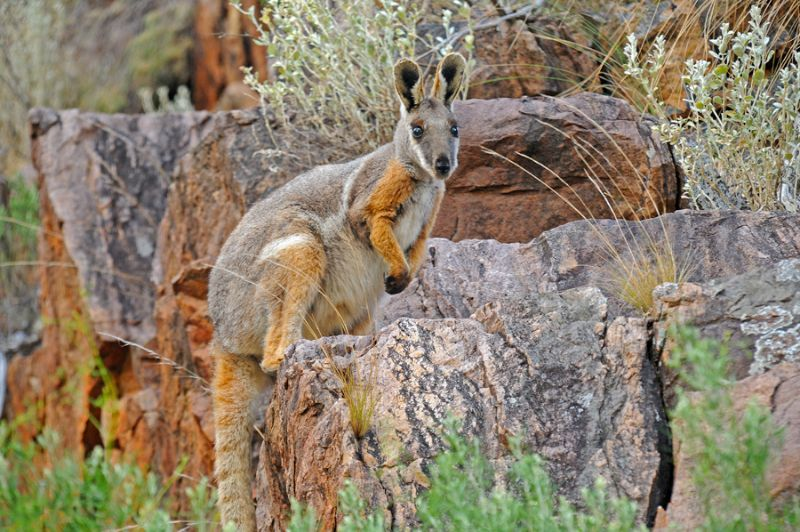 yellow-footed-rock-wallaby-4a-as-smart-object-1.jpg