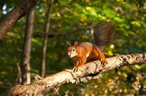 European red squirrel, Kuzminsky forest
