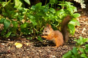 Juvenile European red squirrel, Kuzminsky forest