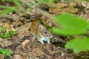 Field mouse, Vorobjevy gori