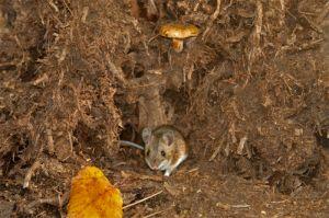 Forest mouse, Kuzminsky forest