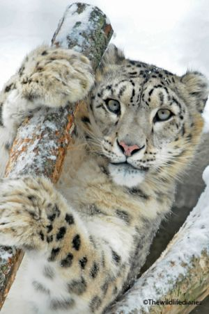 Snow leopard at Moscow Zoo