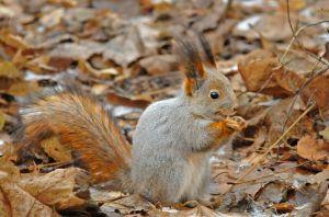 European red squirrel in winter coat, Kuzminsky forest
