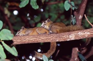 Variable squirrels,  Kanchanaburi