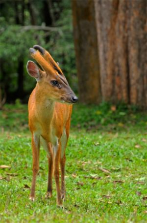 Barking deer, Khao Yai National Park